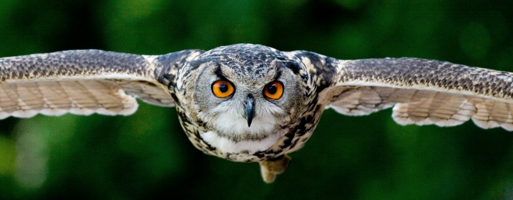 Flying, focused owl