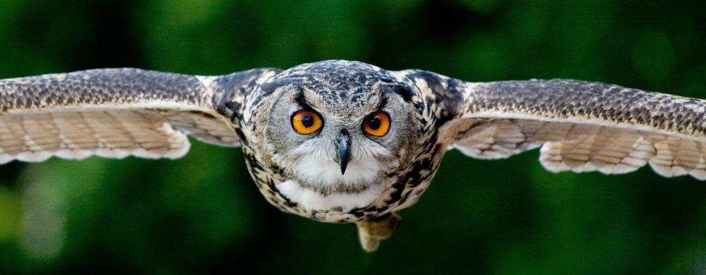 Flying, focused owl
